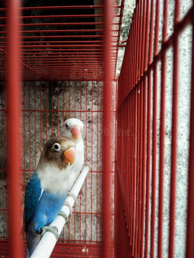 Een paar liefdevogel in de kooi royalty-vrije stock afbeeldingen