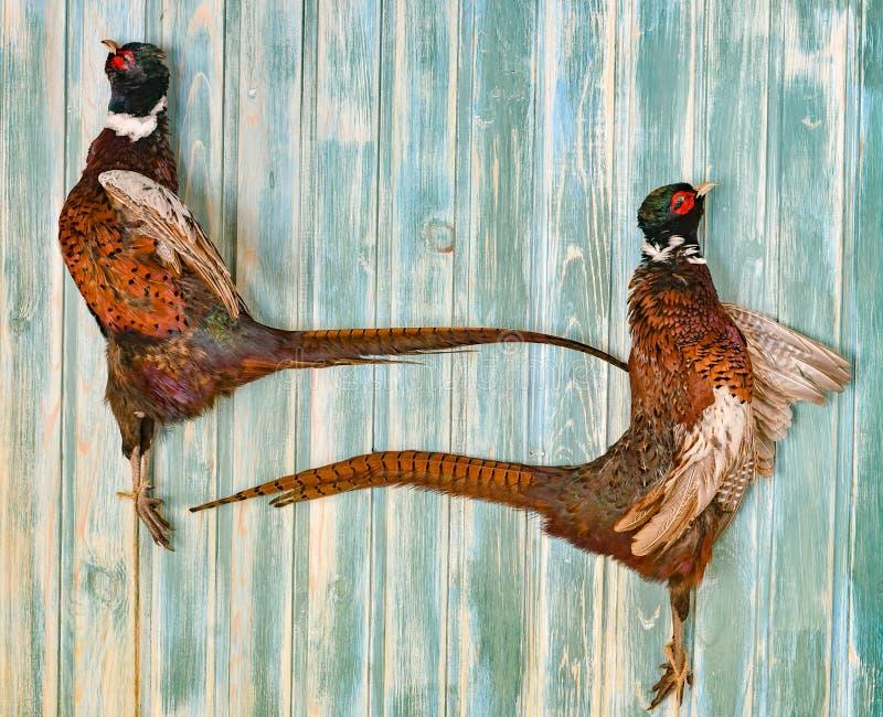 Een paar Mannelijke Fazanten op een oude houten achtergrond Jachtseizoen Exemplaardeeg Volledig - grootte stock foto