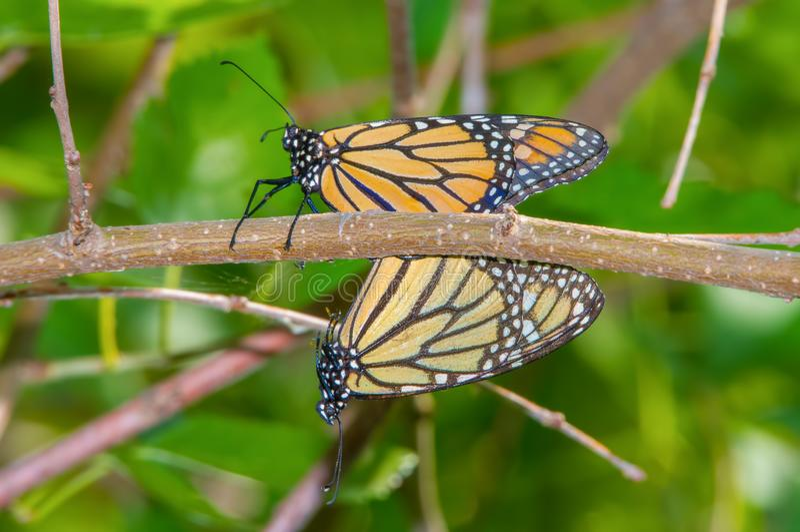Een paar monarchvlinders die op een boomtak in het Toevluchtsoord van het de Valleiwild van Minnesota dichtbij Minneapolis, Minne stock foto's