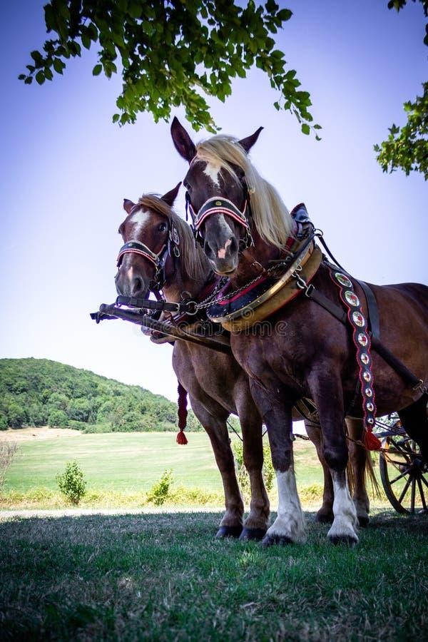 Een paar paarden, bruin, in een close-upvervoer, tribune op het vierkant voor toeristen royalty-vrije stock foto
