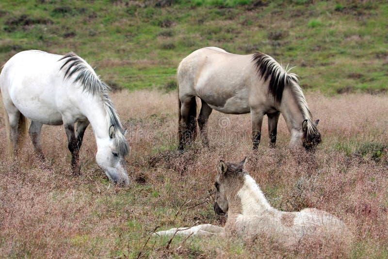 Een paar paarden en rustend veulen stock foto's