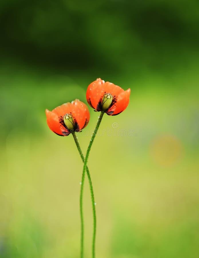 Een paar papaverbloemen die door stelen met elkaar worden geweven Artistieke foto Selectieve zachte nadruk royalty-vrije stock afbeelding