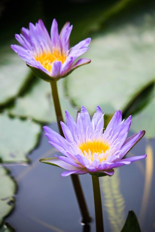 Een paar purpere lotusbloem royalty-vrije stock foto's