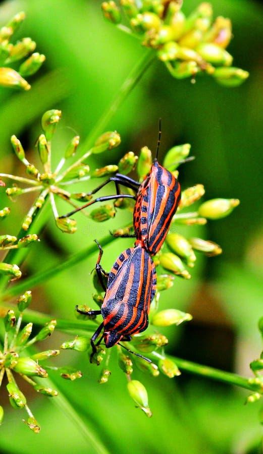 Een paar rode insecten stock foto