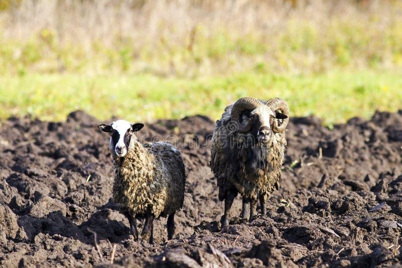 Een paar schapen die zich op een geploegd gebied bevinden royalty-vrije stock afbeeldingen