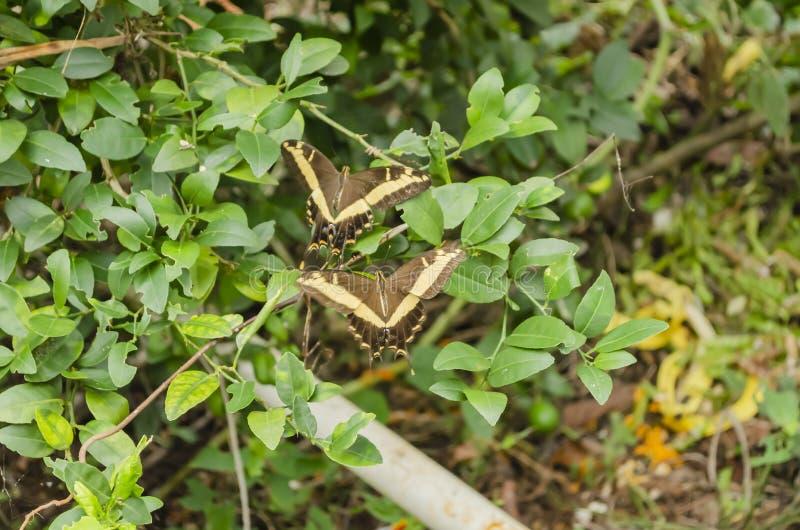 Een Paar Swallowtail-Vlinders tijdens de vlucht royalty-vrije stock afbeeldingen