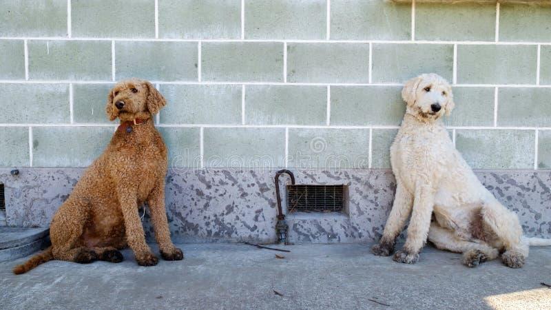 Een paar tweelingpoedelbroers die tegen de muur zitten royalty-vrije stock fotografie