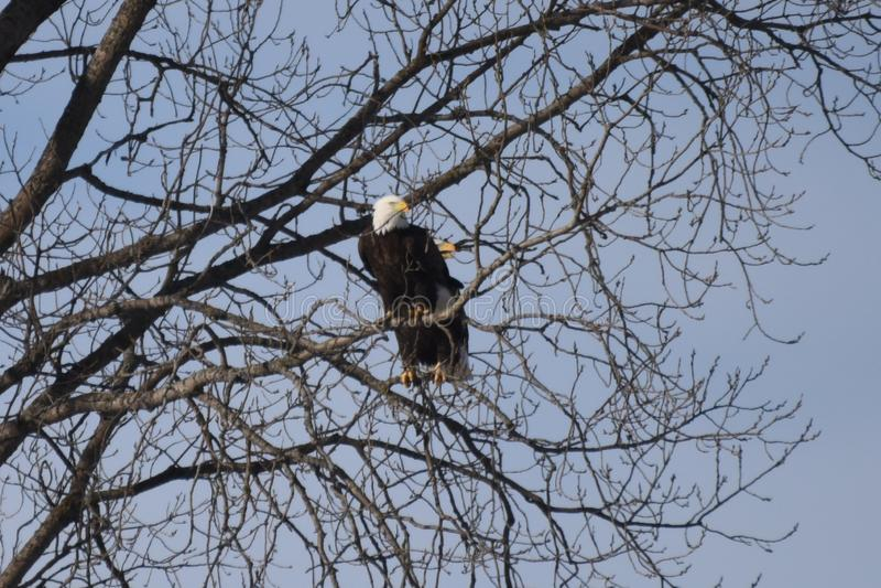 Een Paar van Amerikaans Kaal Eagles op Alarm royalty-vrije stock afbeeldingen