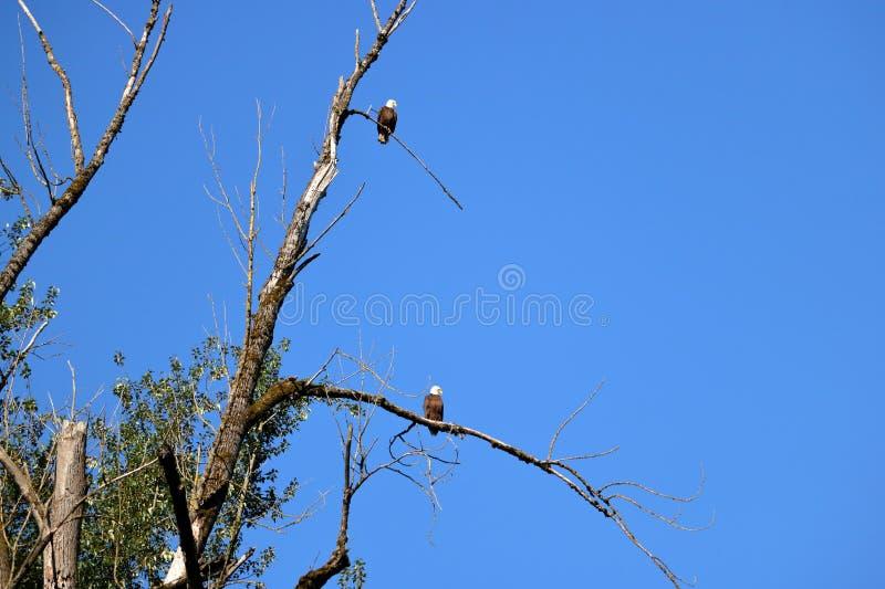 Een Paar van Amerikaans Kaal Eagles op Boom stock afbeelding