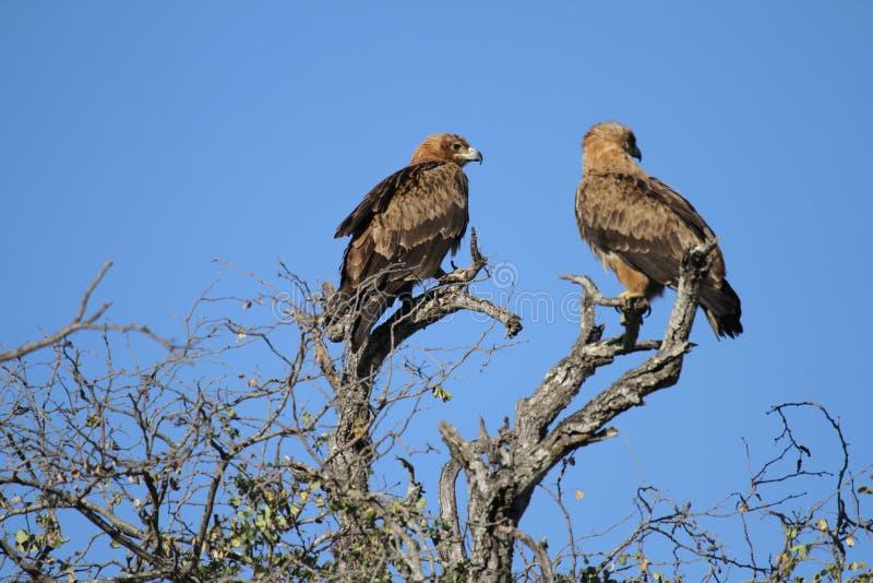 Een paar van Eagles stock foto