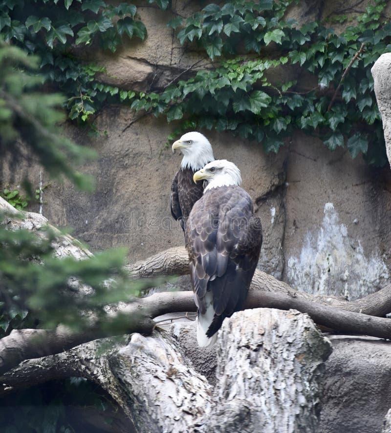 Een paar van Eagles stock afbeeldingen