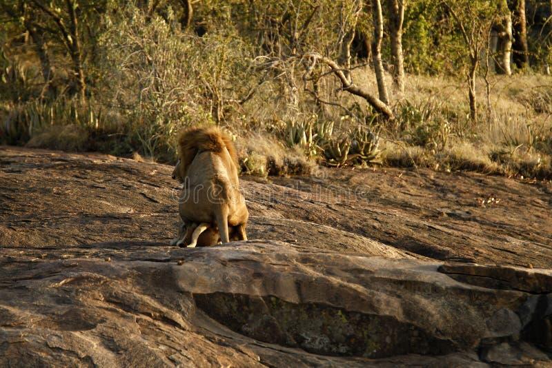 Een paar van het koppelen van leeuwen. royalty-vrije stock afbeelding