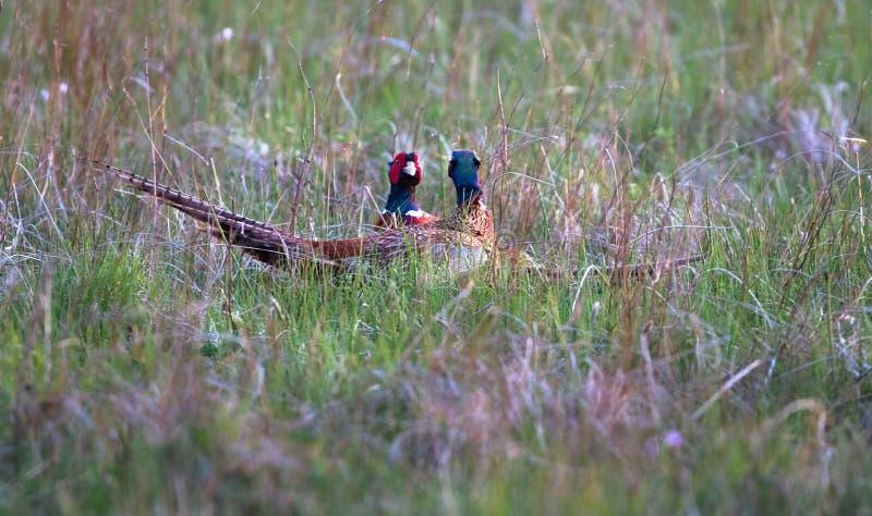 Een paar van het mannelijke gemeenschappelijke colchicus van fazantenphasianus vechten royalty-vrije stock afbeelding