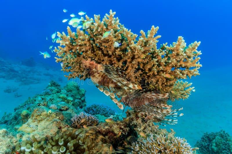 Een paar van Lionfish op een koraal van de acroporalijst royalty-vrije stock foto's