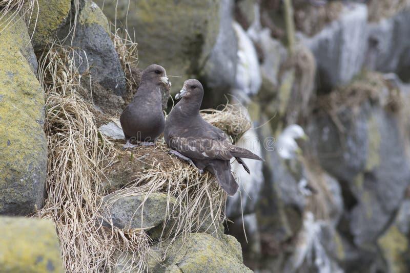 Een paar van Noordelijke noordse stormvogelzitting dichtbij een nest op de helling van a royalty-vrije stock afbeeldingen