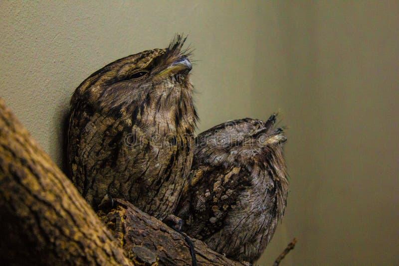 Een paar van Tawny Frogmouths stock fotografie