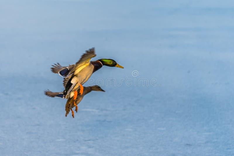 Een paar van wilde eendeend die rond boven een bevroren meer vliegen royalty-vrije stock foto