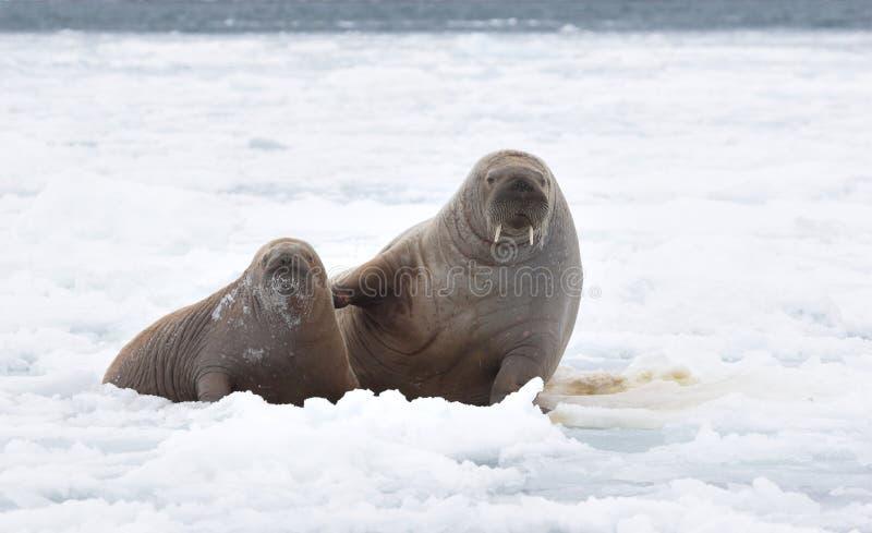 Een paar walruses stock fotografie