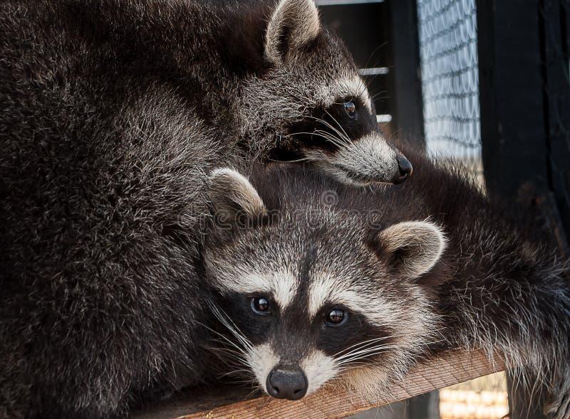 Een paar wasberen fotografeerde dicht geknuffel royalty-vrije stock foto