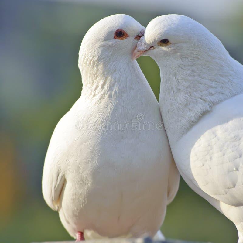 Een paar witte duiven stock afbeeldingen