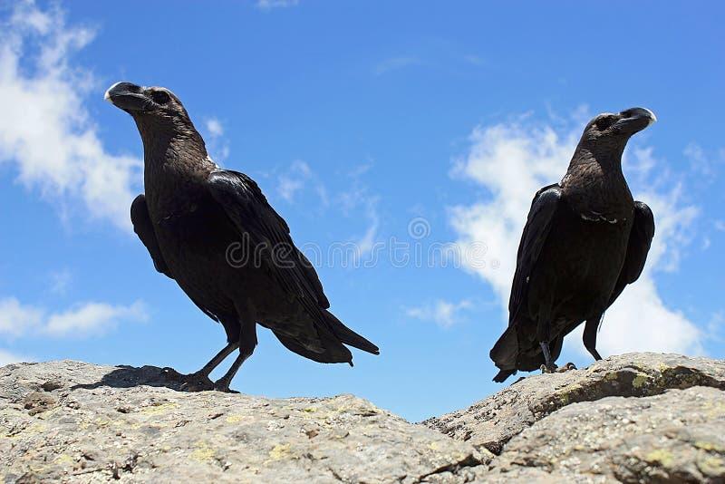 Een paar witte necked raven royalty-vrije stock fotografie