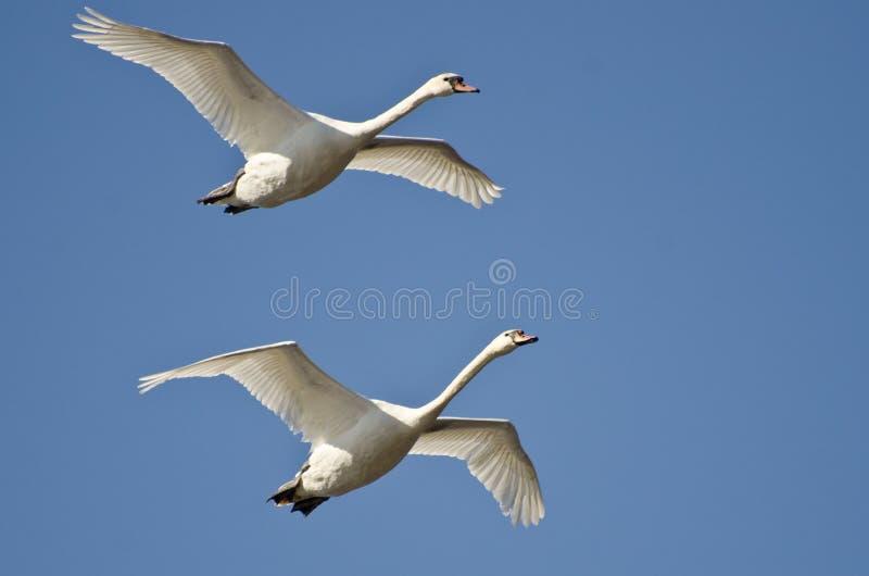 Paar Stodde Zwanen die in een Blauwe Hemel vliegen royalty-vrije stock foto