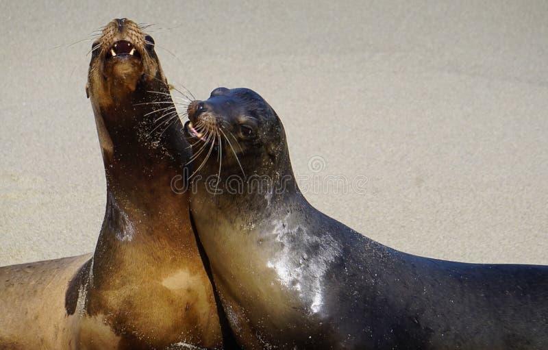 Een paar Zeeleeuwen stock foto's