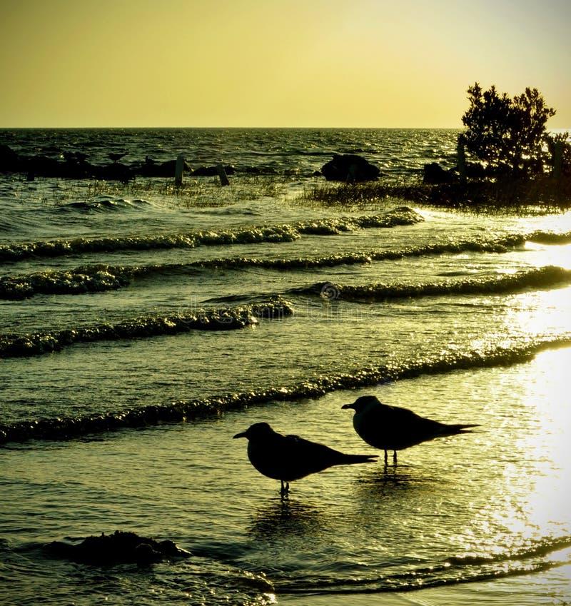 Paar Zeemeeuwen in de Zonsondergang stock fotografie