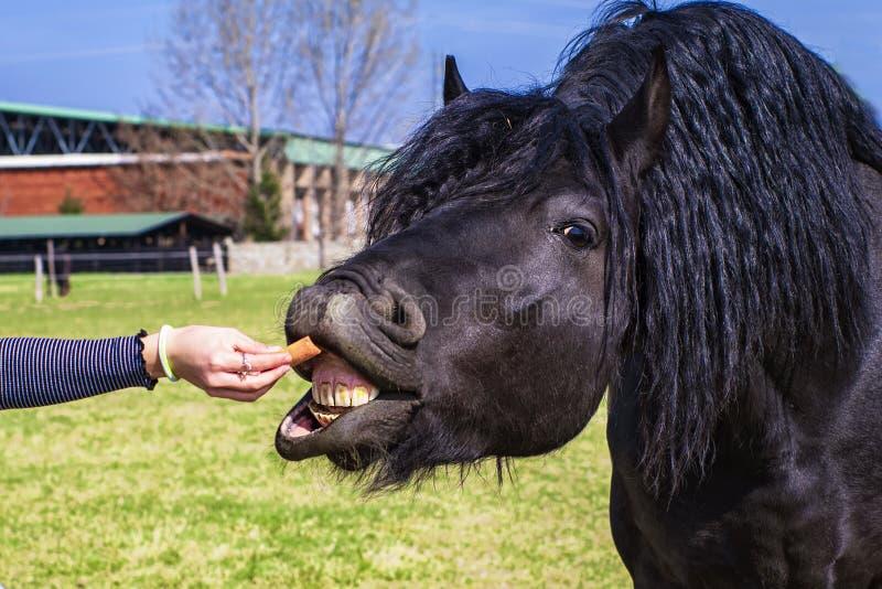 Een paard eet van de hand van een meisje, Jong meisjesvoer haar paard uit haar hand, meisjes voedende paarden in het landbouwbedr stock afbeelding