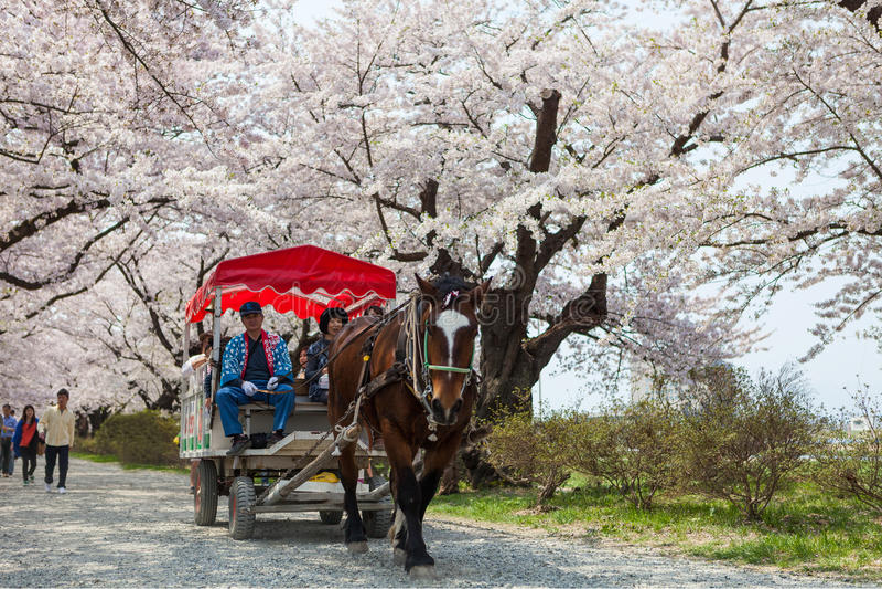 Een paard-gedreven vervoer in Sakura-tunnel, Tenshochi-park, Japan royalty-vrije stock afbeeldingen