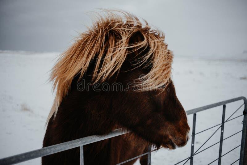 Een paard in IJsland royalty-vrije stock afbeeldingen