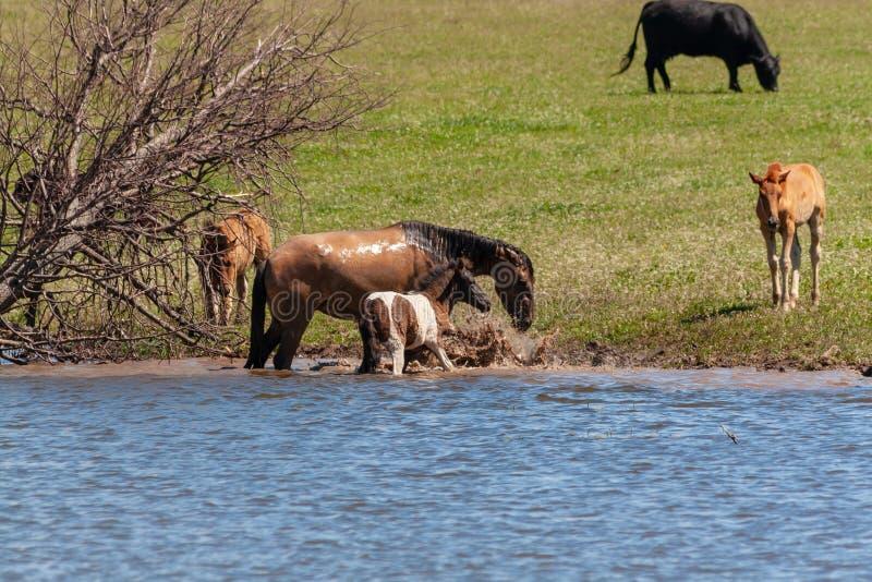 Een paard met zijn veulentribune in het water De paarden en de koeien weiden in de weide stock foto's