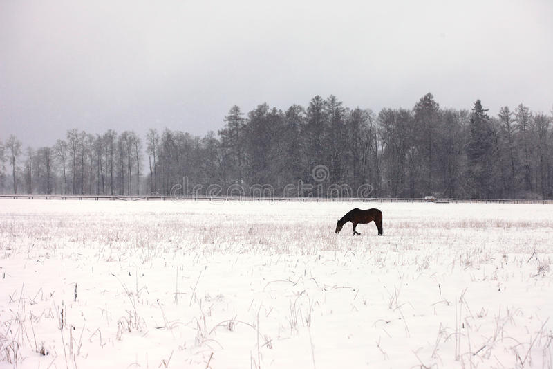 Een paard op een sneeuwgebied royalty-vrije stock afbeelding