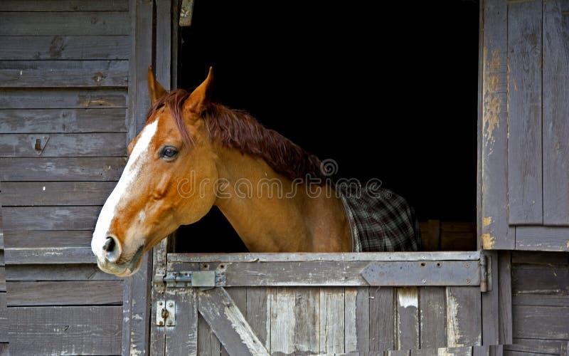 Het paard snurkt stock foto