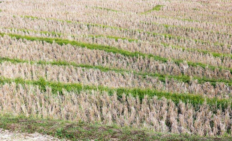 Een padieveld na oogst royalty-vrije stock foto's