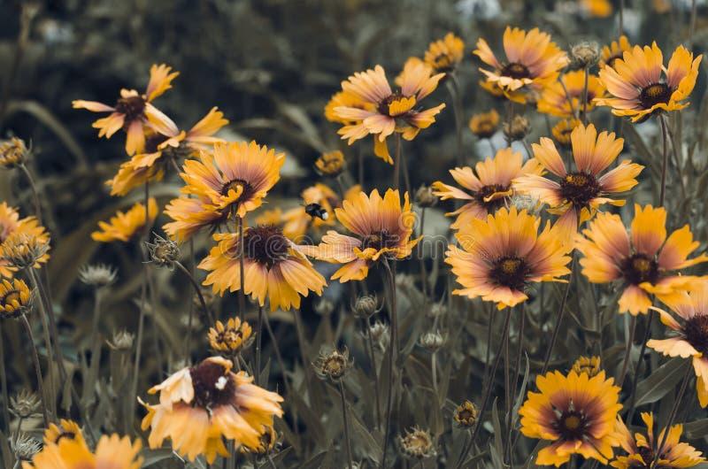 Een palet van warme kleuren in de geopenbaarde kleuren van Gelenium Een rel van kleuren van de lentegazons royalty-vrije stock foto
