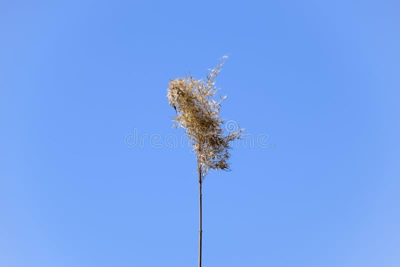 Een panicle van riet droog tegen een blauwe hemel stock foto