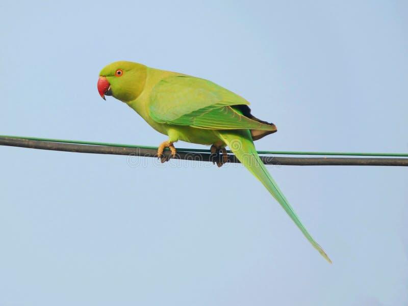 Een papegaai stock foto's