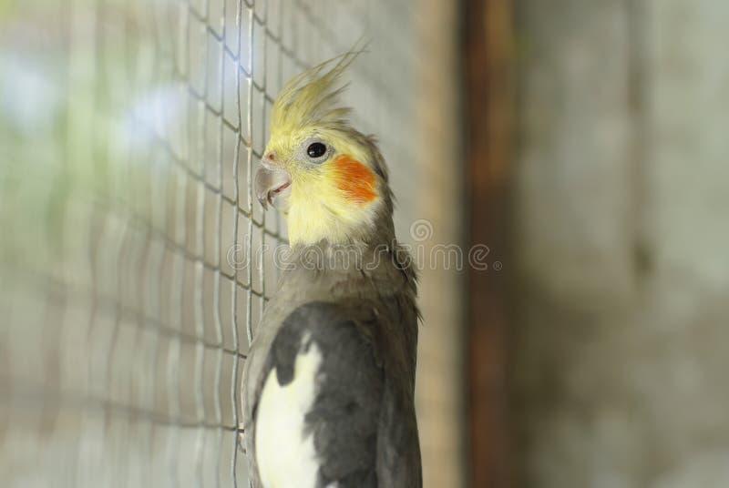 Een papegaai in een kooi royalty-vrije stock foto's