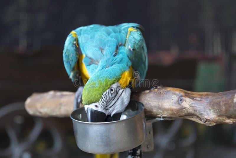 Een papegaaiara zit op een tak en eet van een plaat stock foto