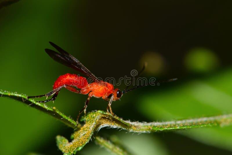 Een parasitische rode braconidwesp in boomgebladerte royalty-vrije stock foto's