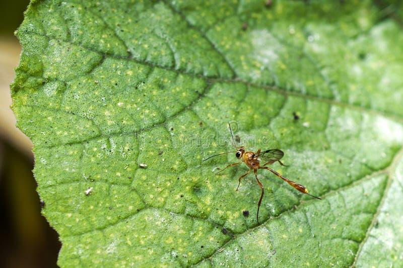 Een parasitische wesp van de Ichneumon familie stock afbeelding