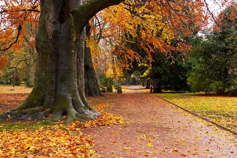 Een park met herfstbeuken stock fotografie