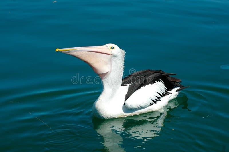 Een pelikaan die op kalm water drijven, die wachten worden gevoed royalty-vrije stock foto