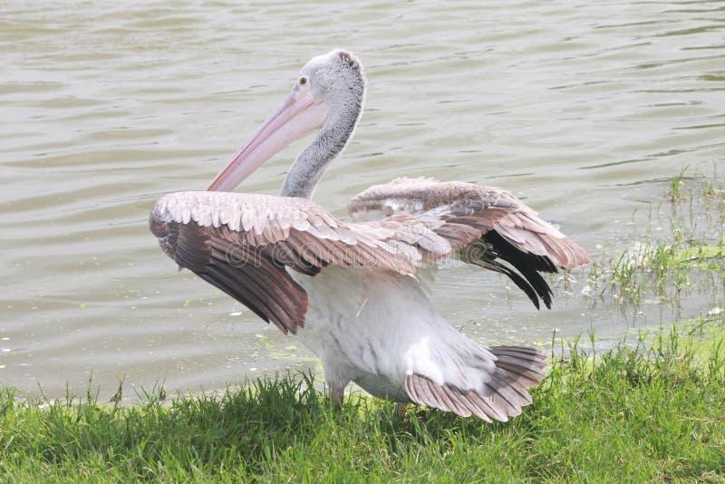 Een pelikaan die zijn vleugels beginnen te overspannen stock foto's