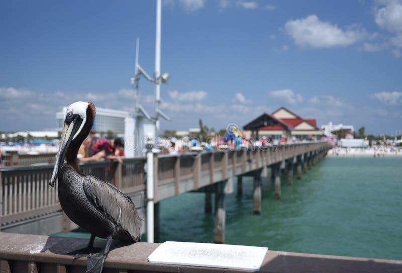 Een pelikaan geniet van de dag bij de Clearwater-Pijler in Florida op schitterende April Day stock foto's
