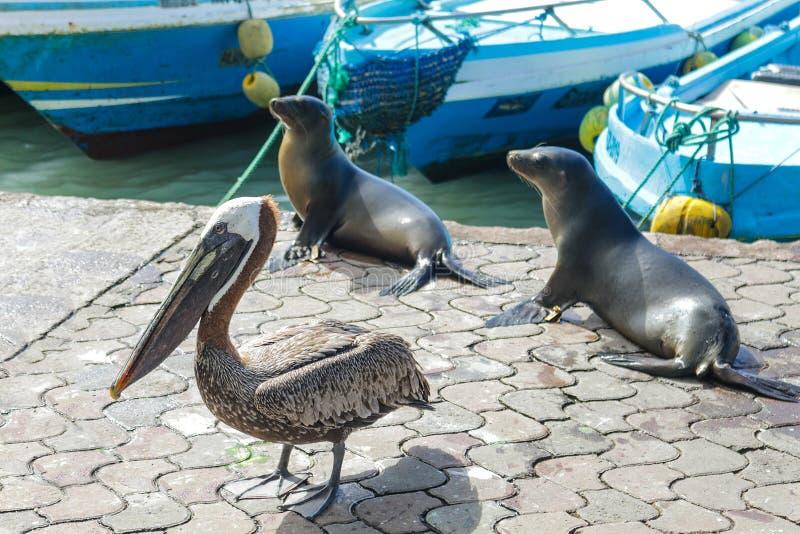 Een pelikaan naast twee zeeleeuwen wacht op voedsel bij de vissershaven op Santa Cruz Island in de Galapagos stock foto