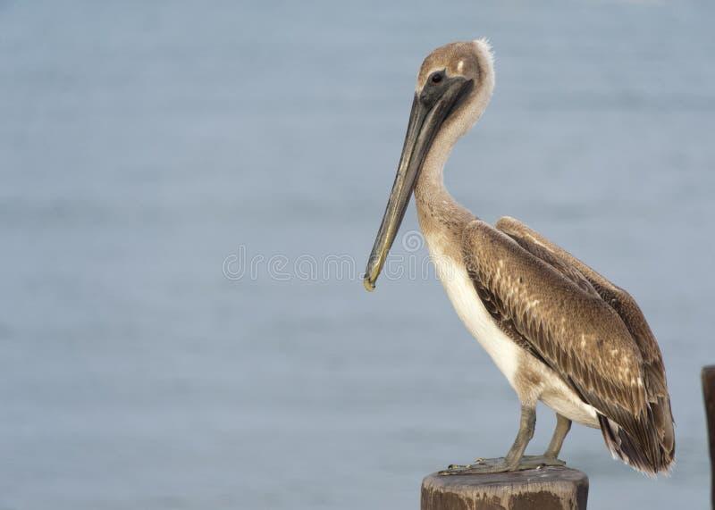 Een pelikaan zit op een pylon post met stock afbeeldingen