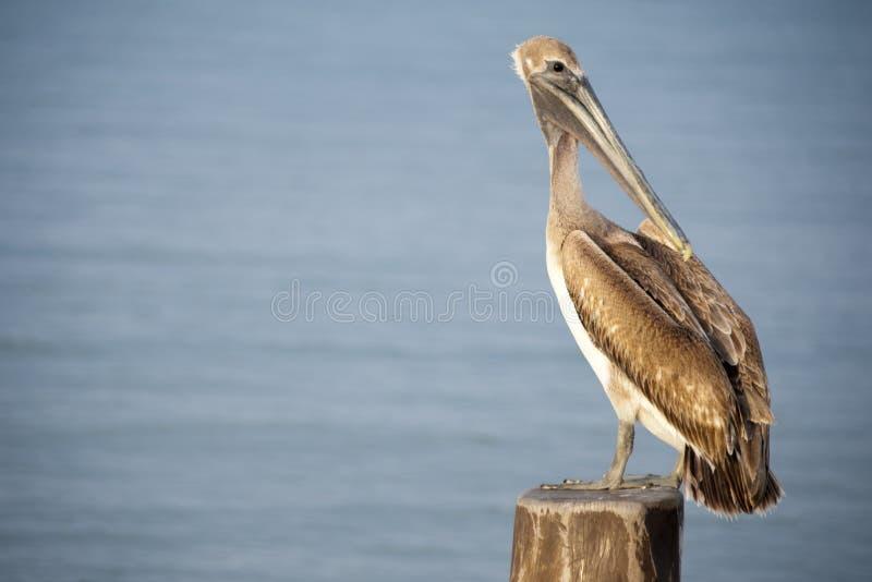 Een pelikaan zit op een pylon post met royalty-vrije stock foto