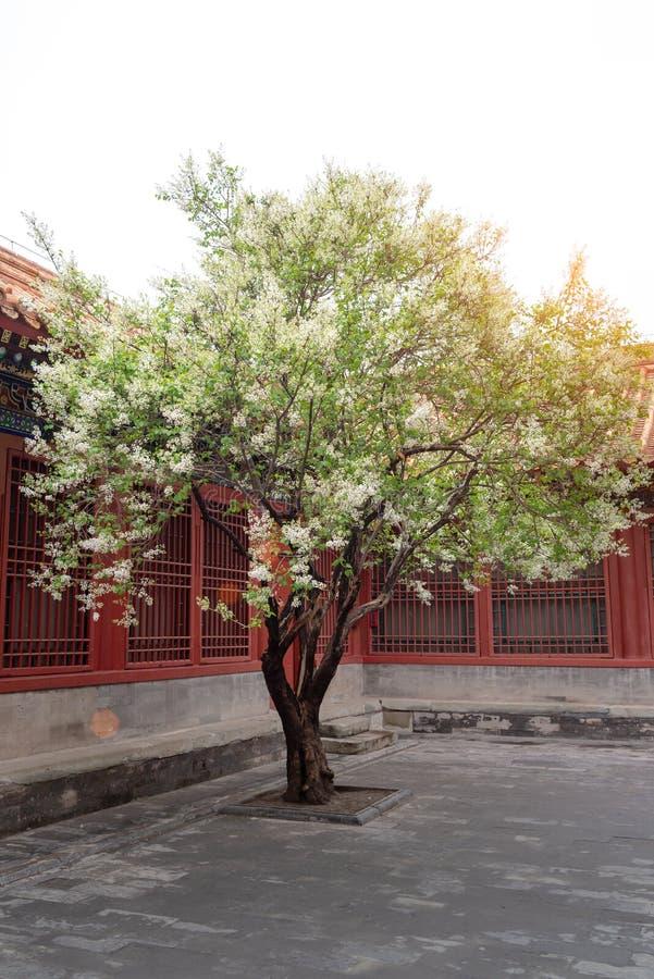 Een perenboom die in Chinese traditionele binnenplaats tot bloei komt stock afbeelding